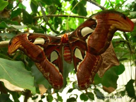 De Atlasvlinder: hoort tot de allergrootste vlinders ter wereld. Komt voor in Azië