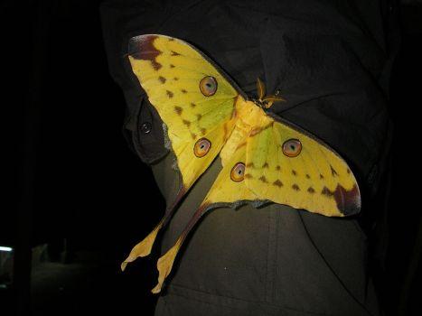 Dit is de komeetstaartvlinder: een zeer grote nachtvlinder!  Wat bijzonder aan deze volwassen vlinder is dat ze geen mond hebben en hierdoor leven ze maar 5 dagen! Komt voor in Madagaskar.
