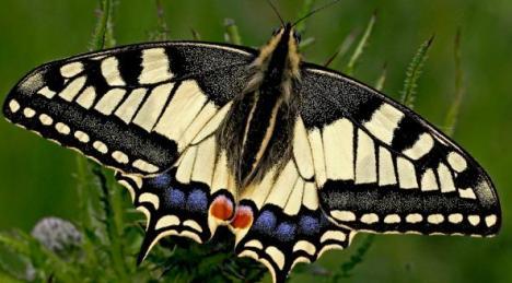 De Koninginnenpage: deze vlinder wilde ik even benoemen, want deze is benoemt tot de mooiste vlinder van Nederland!  Toch een hele mooie vlinder zo in ons land?