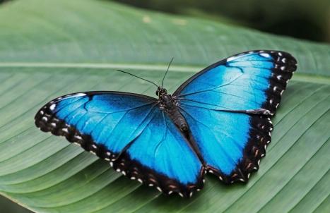 Deze vlinder komt uit Zuid-Amerika. De mannetjes zijn feller van kleur dan de vrouwen. Bijzonder aan deze vlinders is ook, dat als ze gesloten zijn, diverse bruine ogen aan de buitenkant te zien zijn.