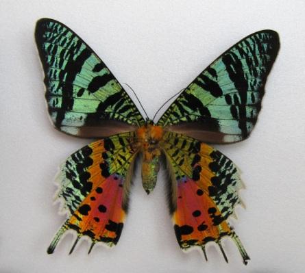 De vogelvlinder leeft in Azië & Australië. Het is een enorme vlinder met vleugels die groter zijn dan de meeste vogels. Vandaar de naam :) Prachtig deze!!