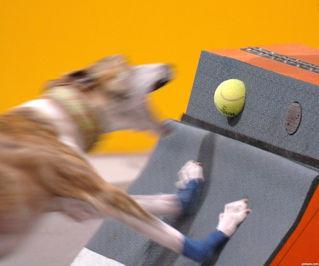 Flyball-dog-4e52cf7728040_hires